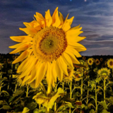 sunflower_